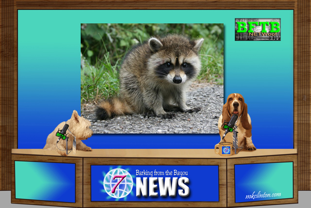 BFTB NETWoof report on smart raccoons