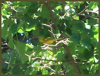 Yellow Warbler - photo by Shelley Banks