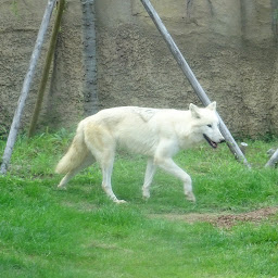 那須動物王国のホッキョクオオカミ