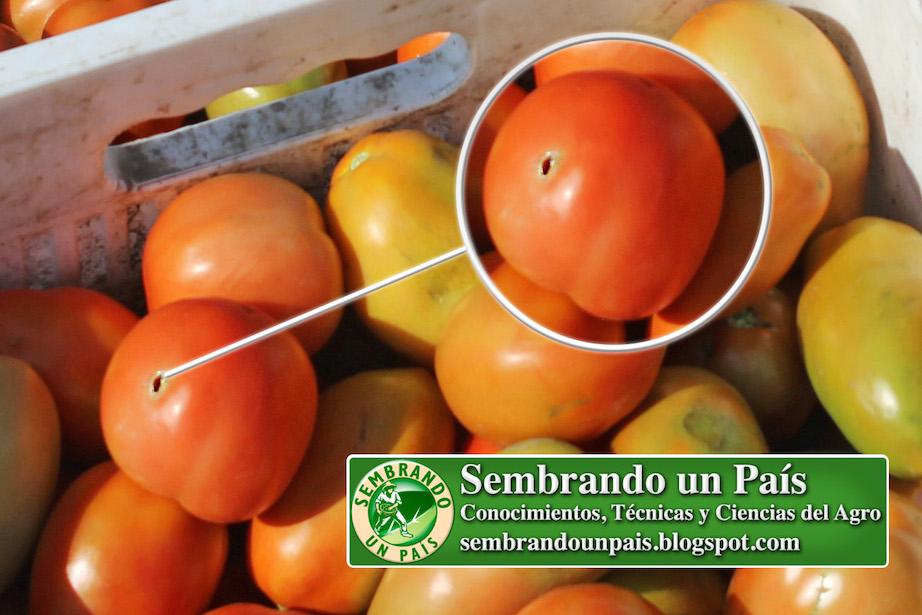 daño por plaga en fruto de tomate