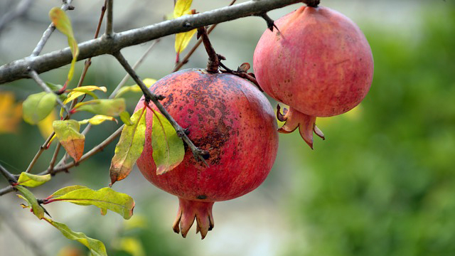 manfaat-buah-delima