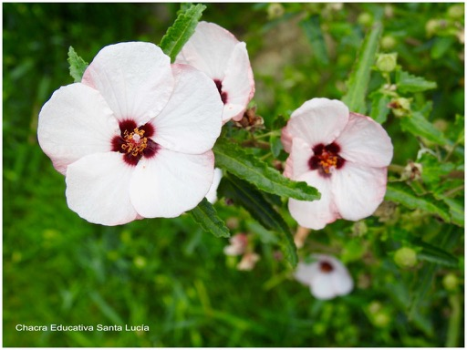 Flor de pavonia - Chacra Educativa Santa Lucía