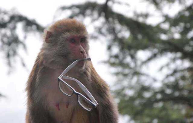Lucknow: Monkeys attack lab worker, run away with coronavirus samples