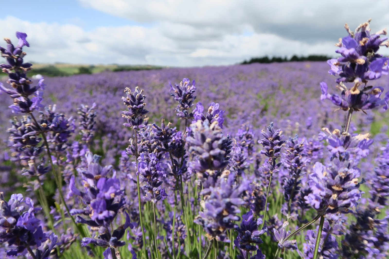 in focus are several strands of lavender. In the background and out of focus a lavender field can be seen