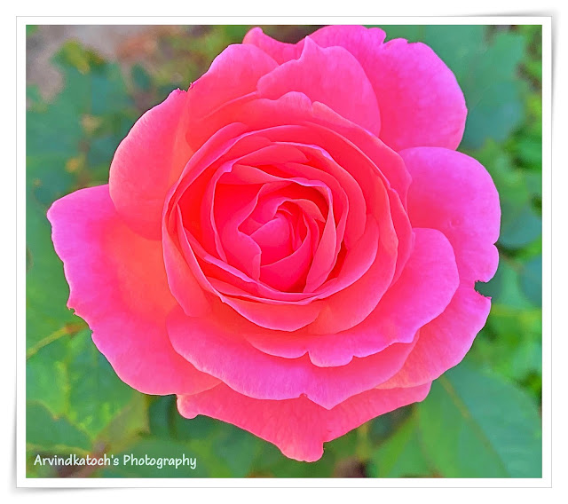 Rose,pink,