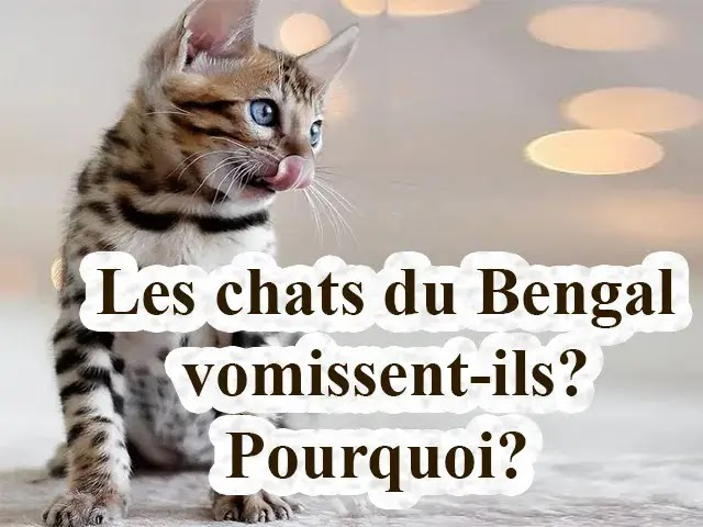 Les chats du Bengale vomissent-ils? Pourquoi?