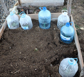 Courgettes under custom made cloches