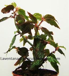 begonia-medora