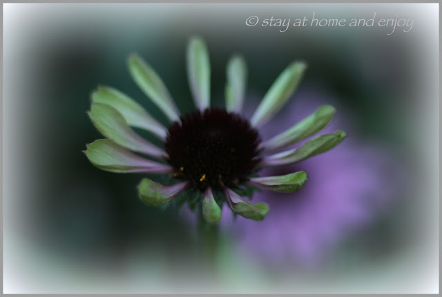 Echinacea - stay at home and enjoy