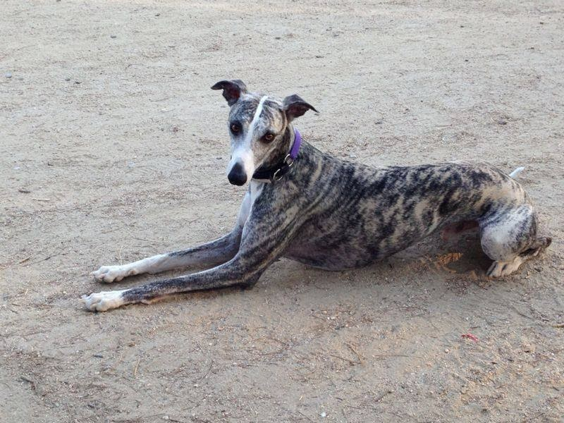 NOBLE GALGO: Whipet (Galgo Enano 15 kilos) en adopción SÓLO MADRID