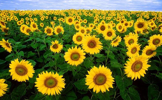Vietnam's largest sunflower fields 1