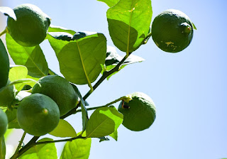 orange malta fruit crop Guidelines for Ambia bahar 2