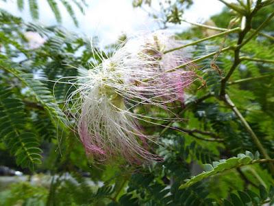 ほしだ園地 ネムノキの花