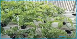 Jenis tanaman hidroponik