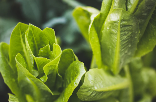 What are the benefits of lettuce for the body - for slimming - for the stomach - for the heart