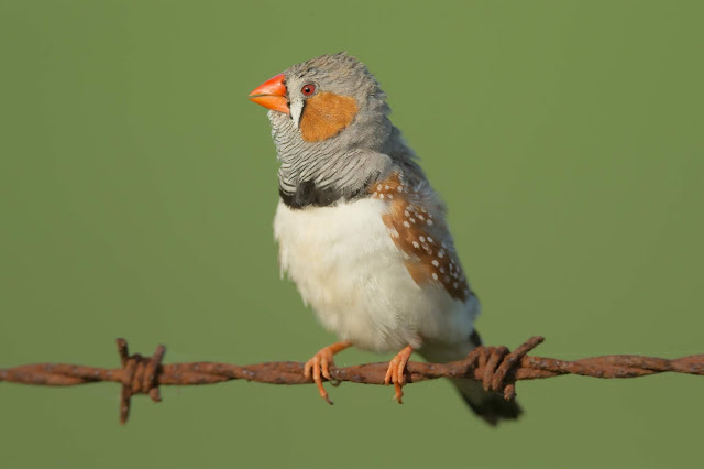 New evolutionary insights into the early development of songbirds