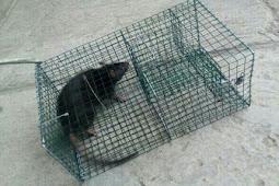 Kisah Perangkap Tikus dan Petani