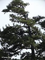 Maintenance crew at work in a pine tree - Kyoto Gyoen National Garden, Japan
