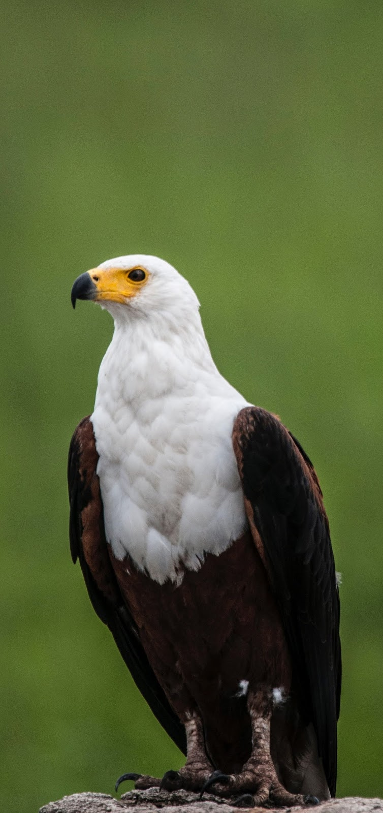 A portrait photo of an eagle.