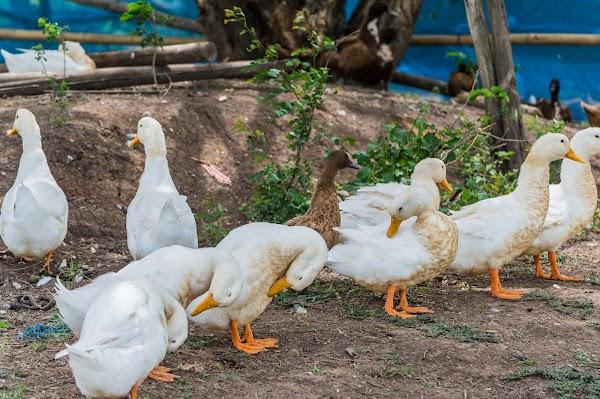 Cara Ternak Bebek Petelur Modern yang Menguntungkan
