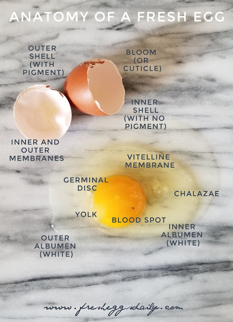 chart of parts of an egg