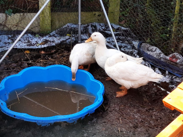 Three white ducks next to a blue paddling pool.  The water is very dirty because the ducks make such a mess!
