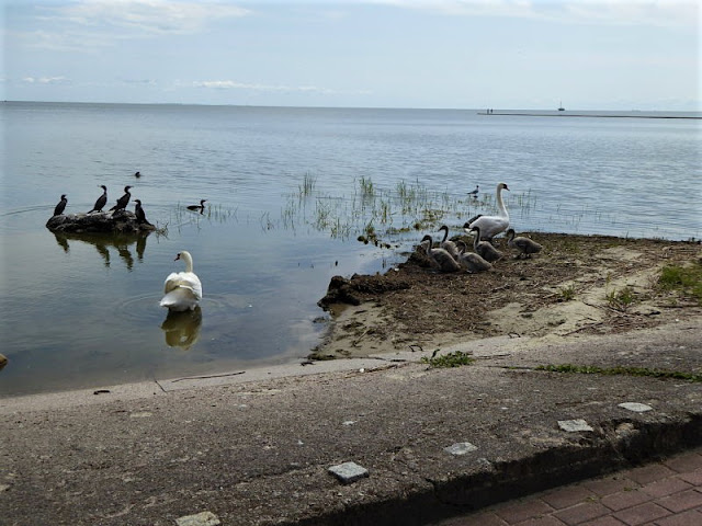 uccelli acquatici nella laguna di neringa