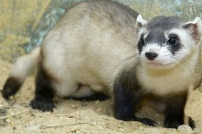 Pros and cons of protecting wild Ferrets
