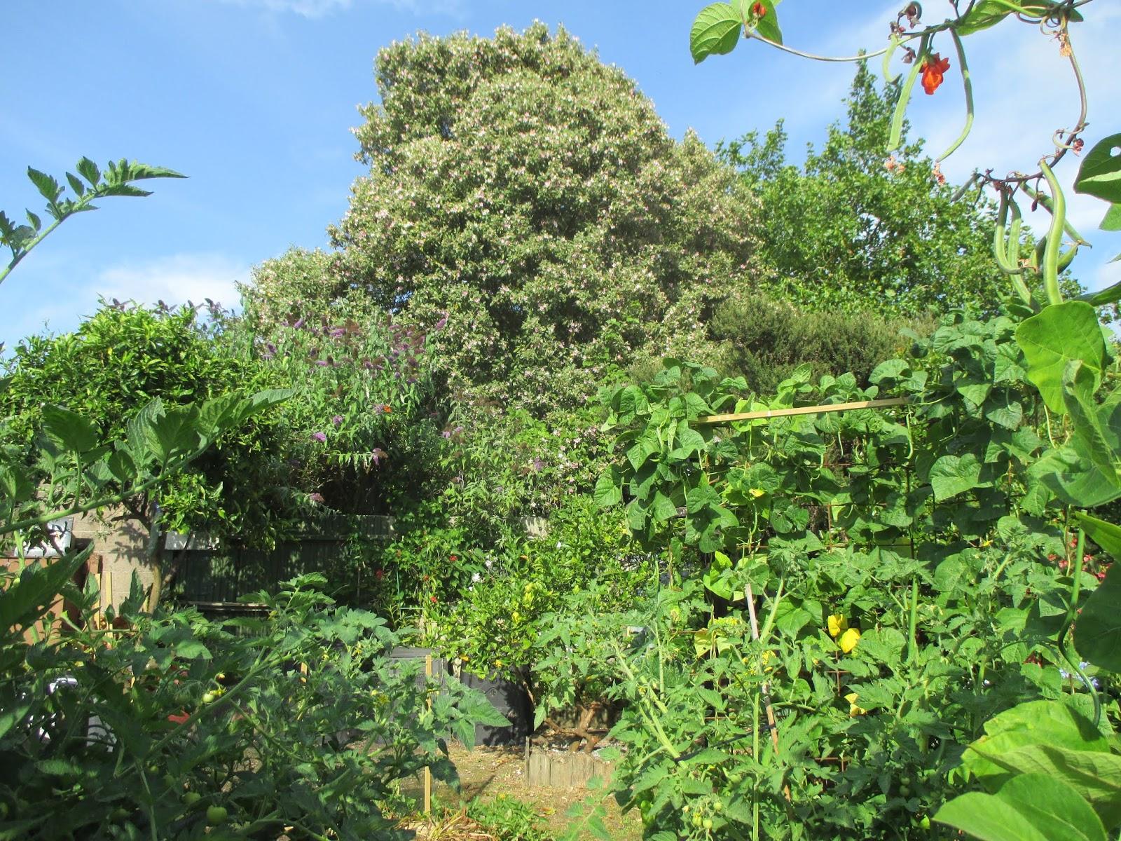 Kamo Lady Norfolk Island Hibiscus Lagunaria Patersonia