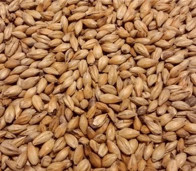 cevada usada na produção de uísque