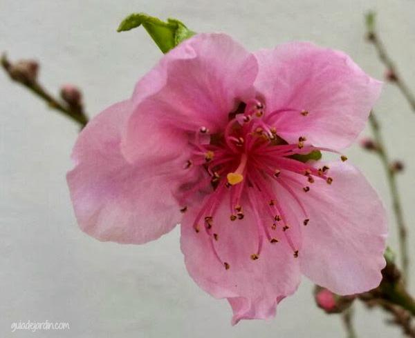 flor de melocotón