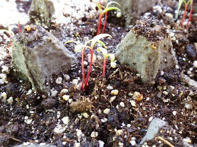 Red Chard Seedlings