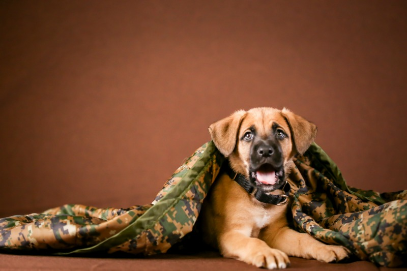 Boxer shepherd puppy yawning under a camouflage blanket and a brown background.