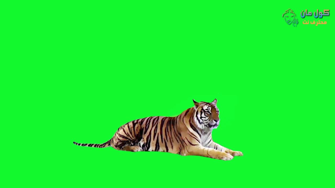 فيديو كروما النمر جاهز كرومات جاهزة نمر يركض كرومات السبع جديد