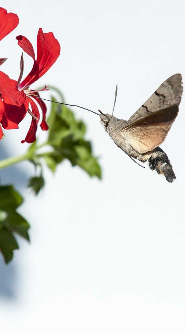 Hummingbird hawk moth drinking nectar.