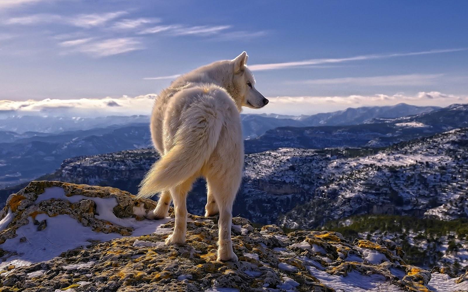 Wild Animal Wolf Wallpapers Hd 51074 Wallpaper: O Livro Da Natureza: Lobo
