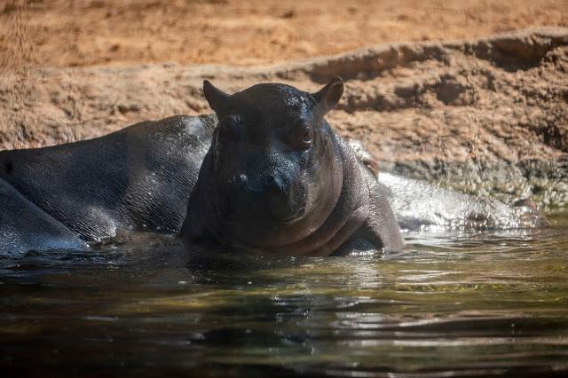 bebé hipopótamo GORI