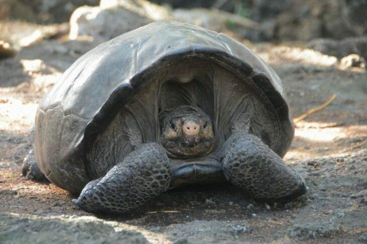 Encuentran tortuga gigante que se creía extinta y ahora le están buscando una pareja