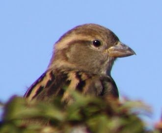 Photograph of house sparrow.