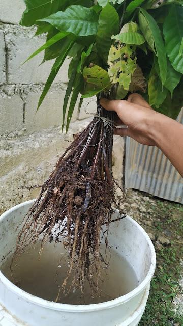Cara memindahkan tanaman kakao liar ke polybag