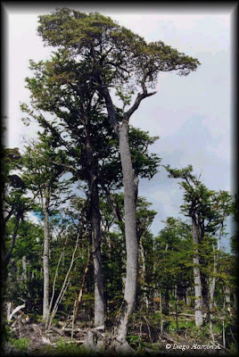 Coihue de Magallanes Nothofagus betuloides