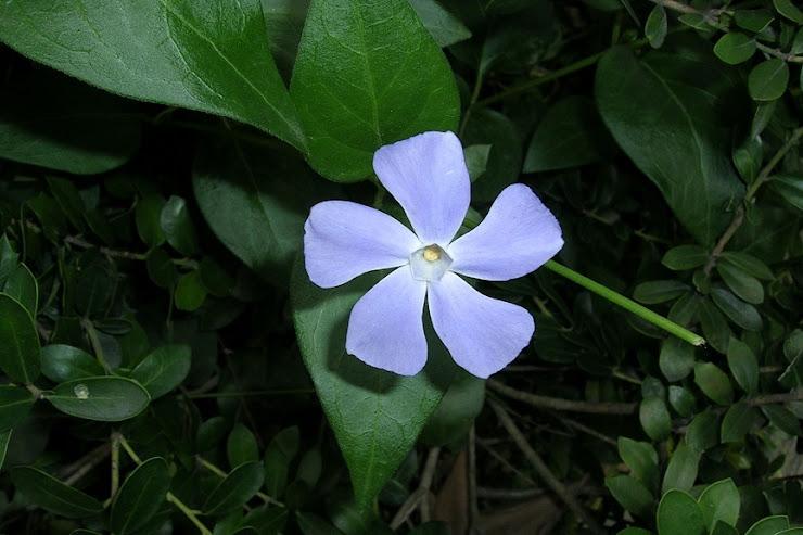 静安寺公園の池のほとりに咲くツルニチニチソウ