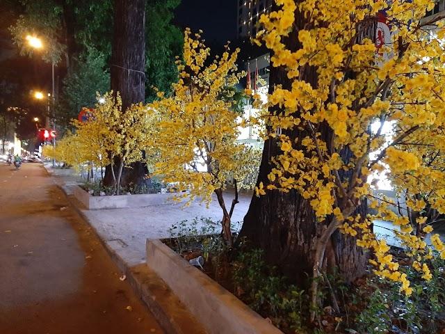 Những con đường hoa mai vàng đã trở lại
