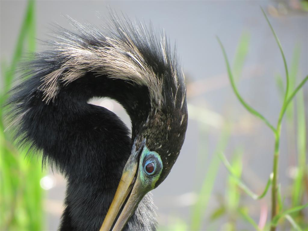 Viewing Nature With Eileen Anhinga