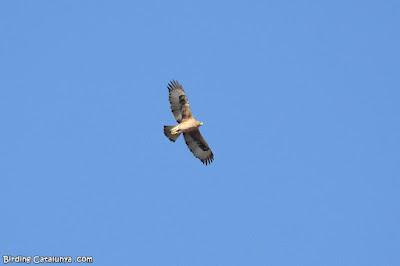 Jove d'àguila cuabarrada (Aquila fasciata)