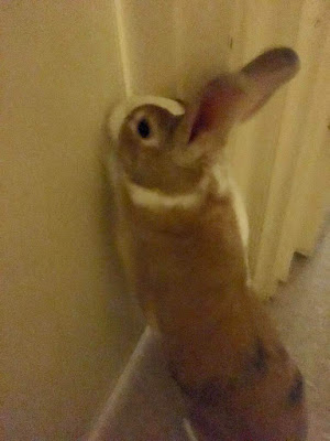 Side view of bunny on hind legs scratching at a door to be let through.