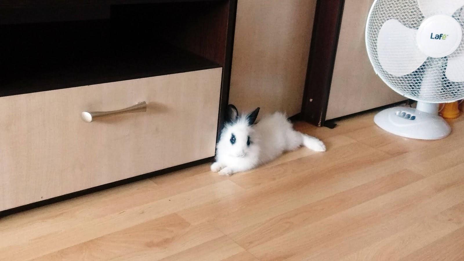 Co powinniśmy wiedzieć przed kupnem królika? Królik miniaturka