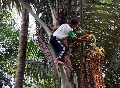 pohon aren majalengka