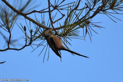 Mallerenga cuallarga (Aegithalos caudatus)