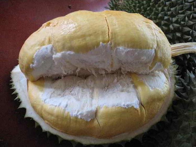 Bibit Durian Montong Hasil Okulasi Lampung